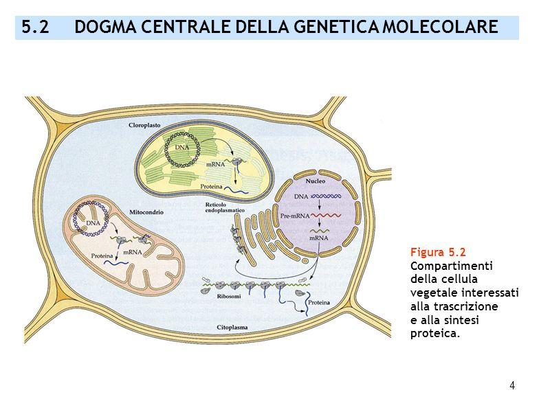 4 5.2 DOGMA CENTRALE DELLA GENETICA MOLECOLARE Figura 5.2 Compartimenti della cellula vegetale interessati alla trascrizione e alla sintesi proteica.