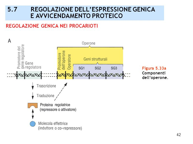 42 Figura 5.33a Componenti delloperone. 5.7 REGOLAZIONE DELLESPRESSIONE GENICA E AVVICENDAMENTO PROTEICO REGOLAZIONE GENICA NEI PROCARIOTI