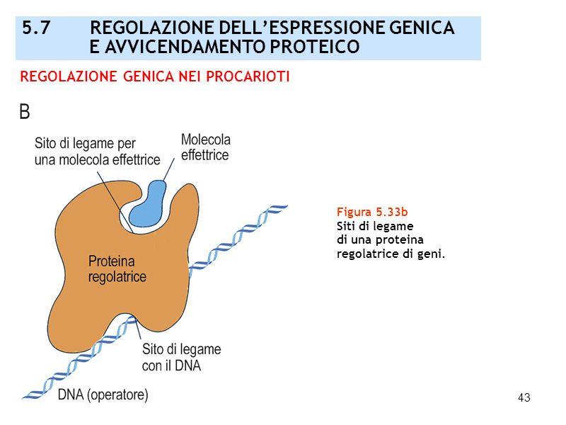 43 Figura 5.33b Siti di legame di una proteina regolatrice di geni. REGOLAZIONE GENICA NEI PROCARIOTI 5.7 REGOLAZIONE DELLESPRESSIONE GENICA E AVVICEN