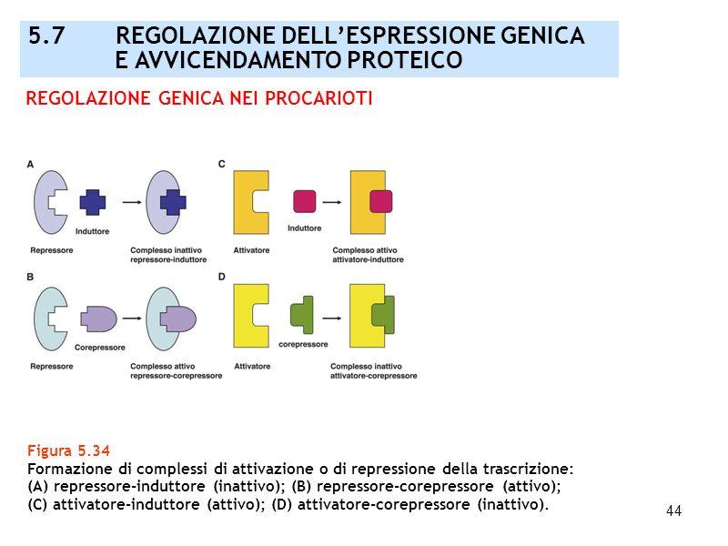 44 Figura 5.34 Formazione di complessi di attivazione o di repressione della trascrizione: (A) repressore-induttore (inattivo); (B) repressore-corepre