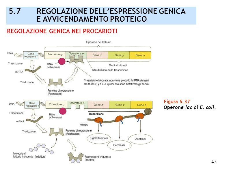 47 Figura 5.37 Operone lac di E. coli. REGOLAZIONE GENICA NEI PROCARIOTI 5.7 REGOLAZIONE DELLESPRESSIONE GENICA E AVVICENDAMENTO PROTEICO