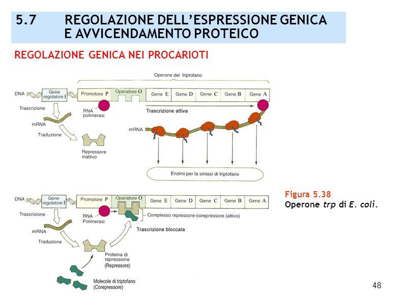 48 Figura 5.38 Operone trp di E. coli. REGOLAZIONE GENICA NEI PROCARIOTI 5.7 REGOLAZIONE DELLESPRESSIONE GENICA E AVVICENDAMENTO PROTEICO