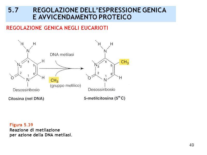 49 Figura 5.39 Reazione di metilazione per azione della DNA metilasi. REGOLAZIONE GENICA NEGLI EUCARIOTI 5.7 REGOLAZIONE DELLESPRESSIONE GENICA E AVVI
