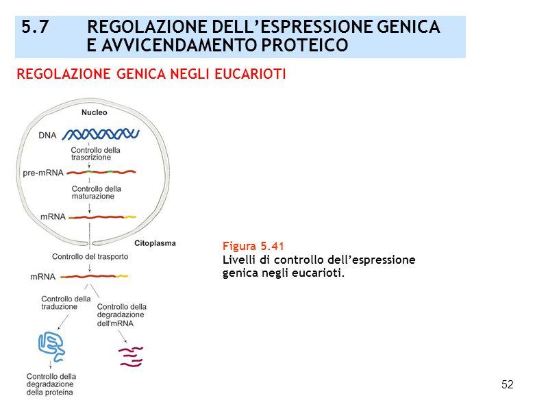 52 Figura 5.41 Livelli di controllo dellespressione genica negli eucarioti. REGOLAZIONE GENICA NEGLI EUCARIOTI 5.7 REGOLAZIONE DELLESPRESSIONE GENICA