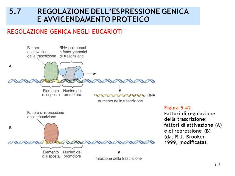53 Figura 5.42 Fattori di regolazione della trascrizione: fattori di attivazione (A) e di repressione (B) (da: R.J. Brooker 1999, modificata). REGOLAZ