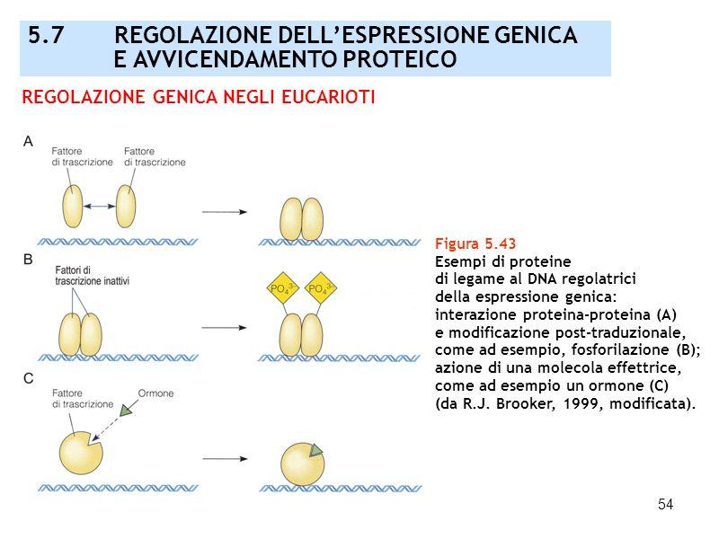54 Figura 5.43 Esempi di proteine di legame al DNA regolatrici della espressione genica: interazione proteina-proteina (A) e modificazione post-traduz