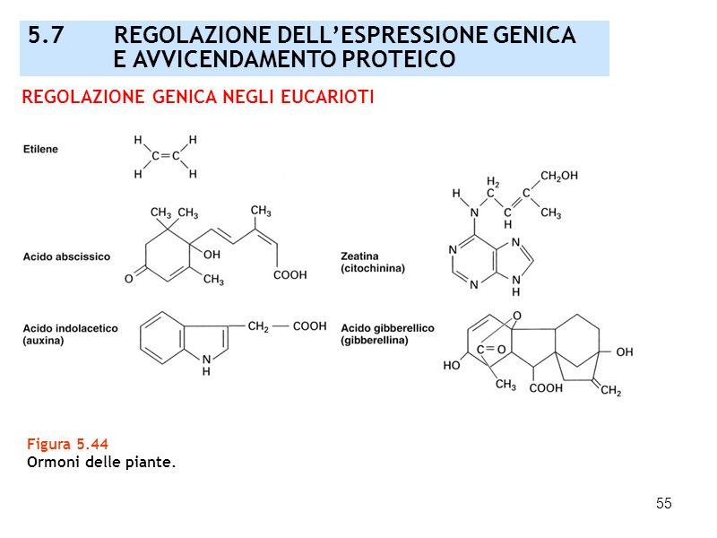 55 Figura 5.44 Ormoni delle piante. REGOLAZIONE GENICA NEGLI EUCARIOTI 5.7 REGOLAZIONE DELLESPRESSIONE GENICA E AVVICENDAMENTO PROTEICO