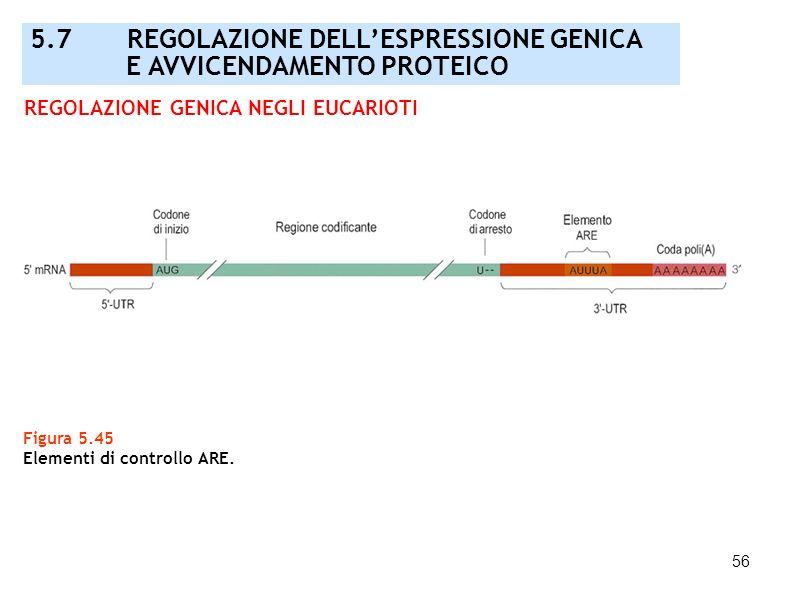 56 Figura 5.45 Elementi di controllo ARE. REGOLAZIONE GENICA NEGLI EUCARIOTI 5.7 REGOLAZIONE DELLESPRESSIONE GENICA E AVVICENDAMENTO PROTEICO