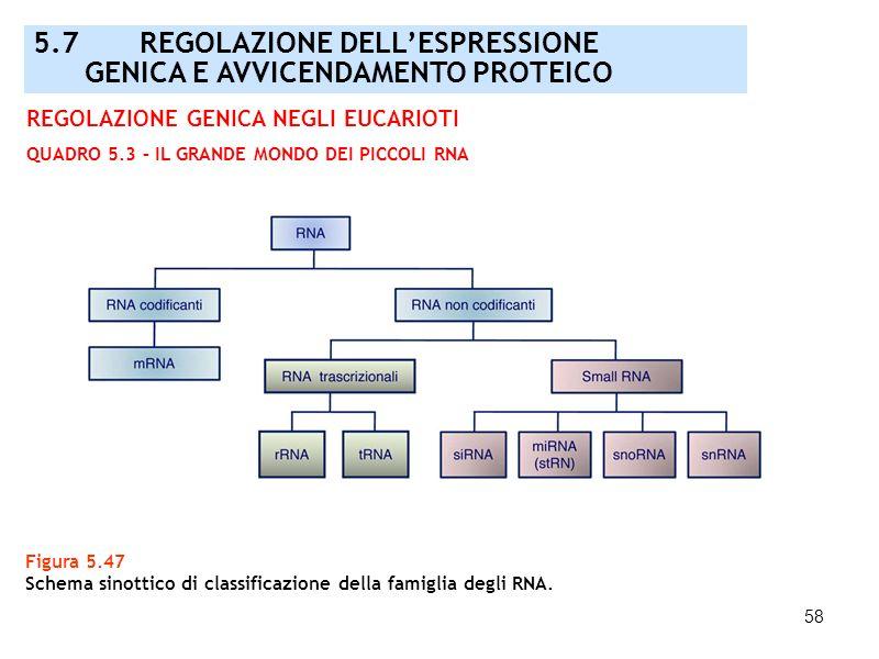 58 Figura 5.47 Schema sinottico di classificazione della famiglia degli RNA. 5.7 REGOLAZIONE DELLESPRESSIONE GENICA E AVVICENDAMENTO PROTEICO REGOLAZI