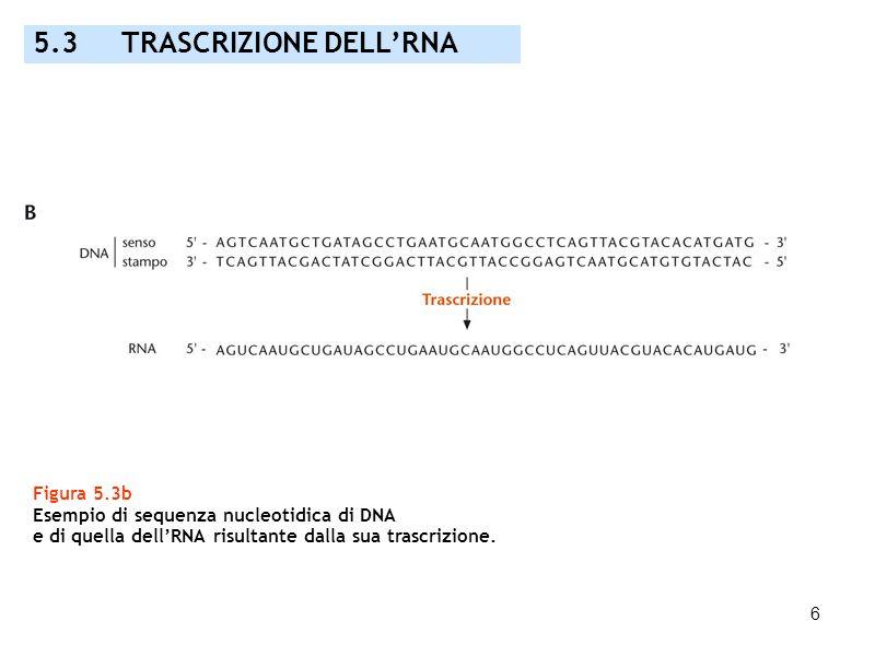 6 Figura 5.3b Esempio di sequenza nucleotidica di DNA e di quella dellRNA risultante dalla sua trascrizione. 5.3 TRASCRIZIONE DELLRNA