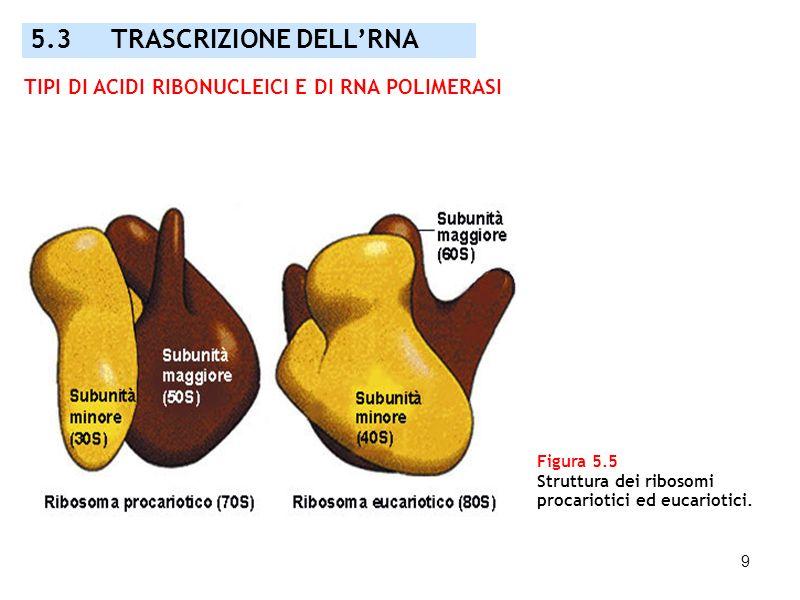 9 Figura 5.5 Struttura dei ribosomi procariotici ed eucariotici. 5.3 TRASCRIZIONE DELLRNA TIPI DI ACIDI RIBONUCLEICI E DI RNA POLIMERASI