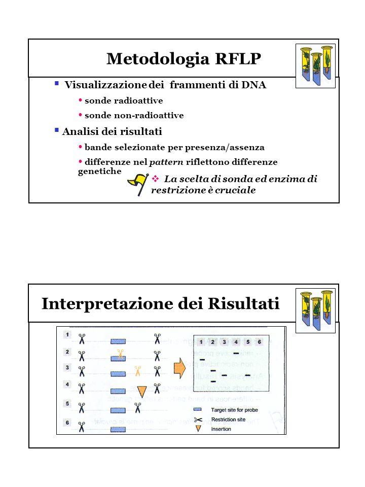Metodologia RFLP Visualizzazione dei frammenti di DNA sonde radioattive sonde non-radioattive Analisi dei risultati bande selezionate per presenza/ass