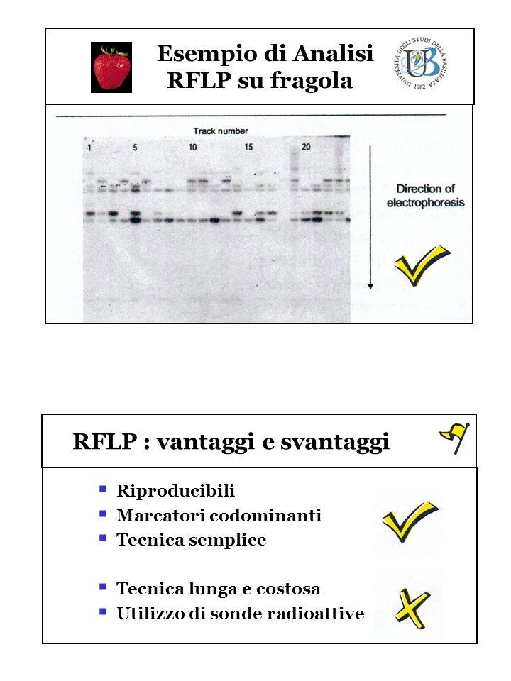 Esempio di Analisi RFLP su fragola RFLP : vantaggi e svantaggi Riproducibili Marcatori codominanti Tecnica semplice Tecnica lunga e costosa Utilizzo d