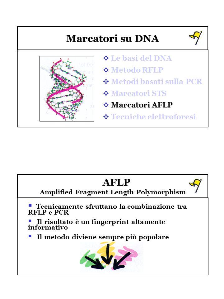 Marcatori su DNA Le basi del DNA Metodo RFLP Metodi basati sulla PCR Marcatori STS Marcatori AFLP Tecniche elettroforesi AFLP Amplified Fragment Lengt