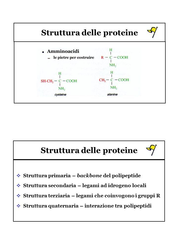 Struttura delle proteine Struttura primaria – backbone del polipeptide Struttura secondaria – legami ad idrogeno locali Struttura terziaria – legami c