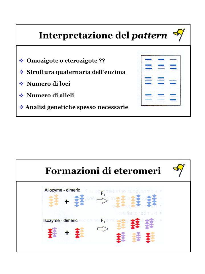 Interpretazione del pattern Formazioni di eteromeri Omozigote o eterozigote ?? Struttura quaternaria dellenzima Numero di loci Numero di alleli Analis