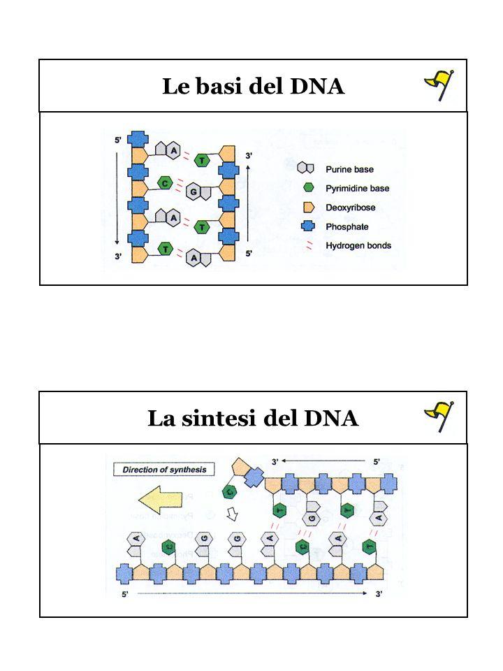 Le basi del DNA La sintesi del DNA