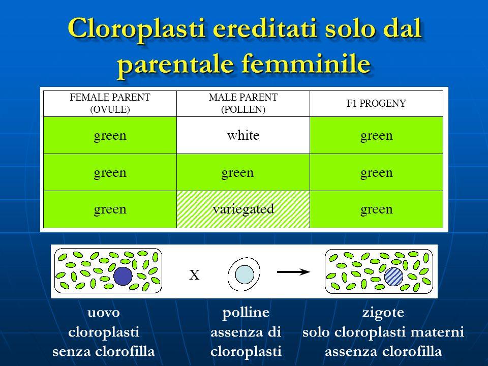 uovo cloroplasti senza clorofilla uovo cloroplasti senza clorofilla polline assenza di cloroplasti polline assenza di cloroplasti zigote solo cloropla