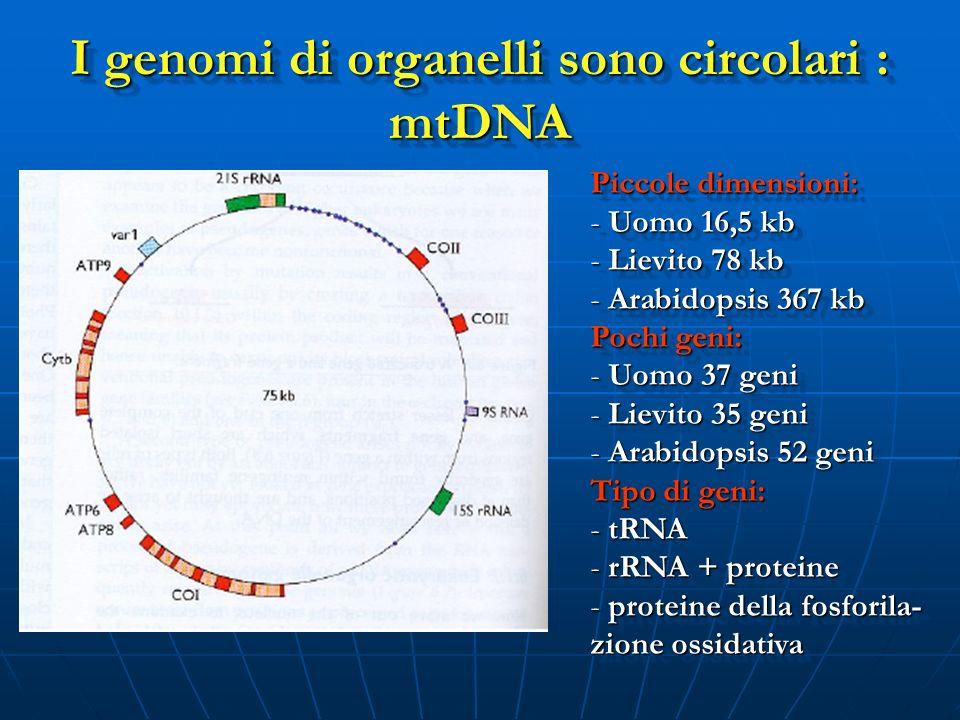 I genomi di organelli sono circolari : mtDNA Piccole dimensioni: - Uomo 16,5 kb - Lievito 78 kb - Arabidopsis 367 kb Pochi geni: - Uomo 37 geni - Liev