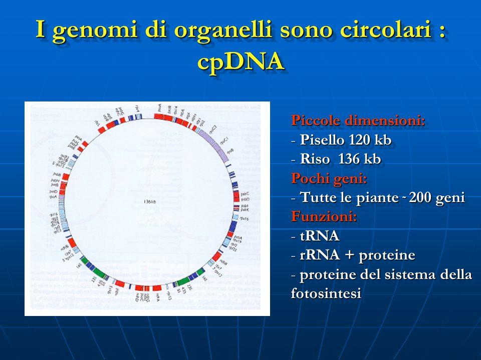 I genomi di organelli sono circolari : cpDNA Piccole dimensioni: - Pisello 120 kb - Riso 136 kb Pochi geni: - Tutte le piante ˜ 200 geni Funzioni: - t