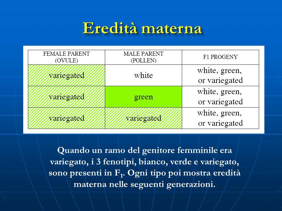 Quando un ramo del genitore femminile era variegato, i 3 fenotipi, bianco, verde e variegato, sono presenti in F 1. Ogni tipo poi mostra eredità mater