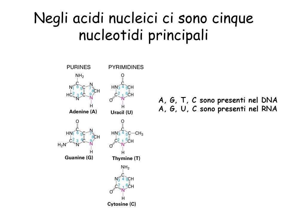 Negli acidi nucleici ci sono cinque nucleotidi principali A, G, T, C sono presenti nel DNA A, G, U, C sono presenti nel RNA
