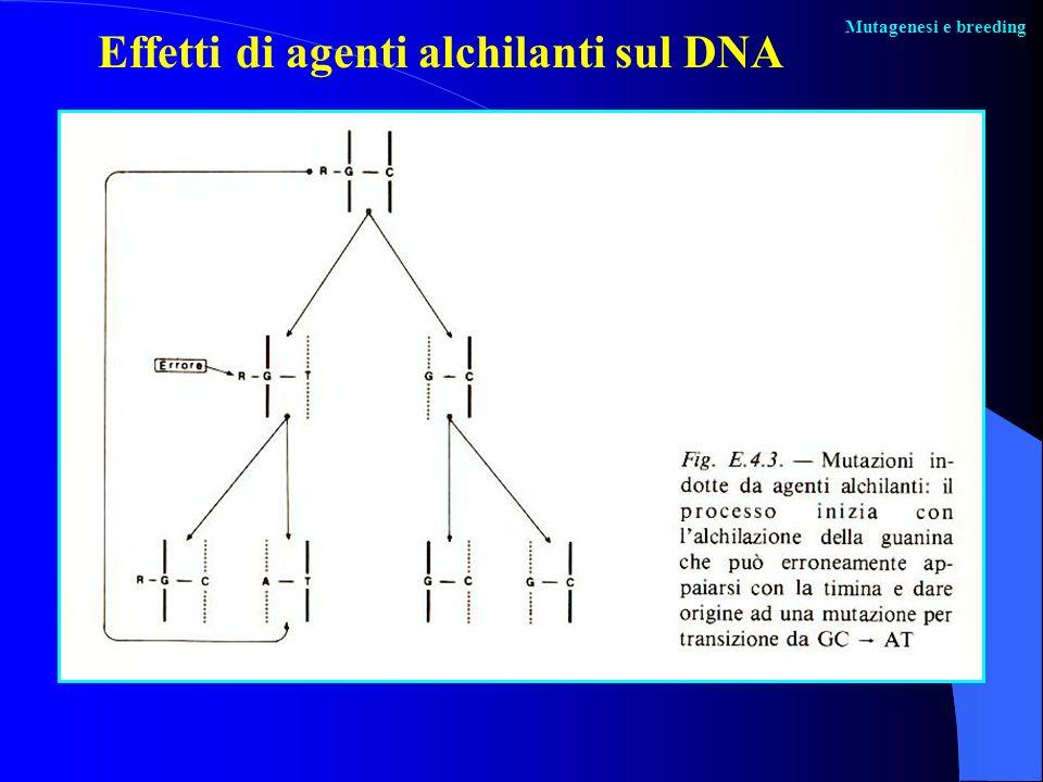 Mutagenesi e breeding Effetti di agenti alchilanti sul DNA