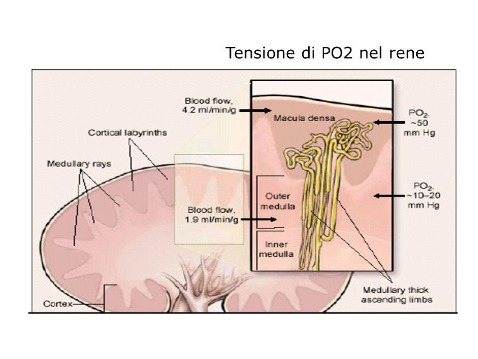 Tensione di PO2 nel rene