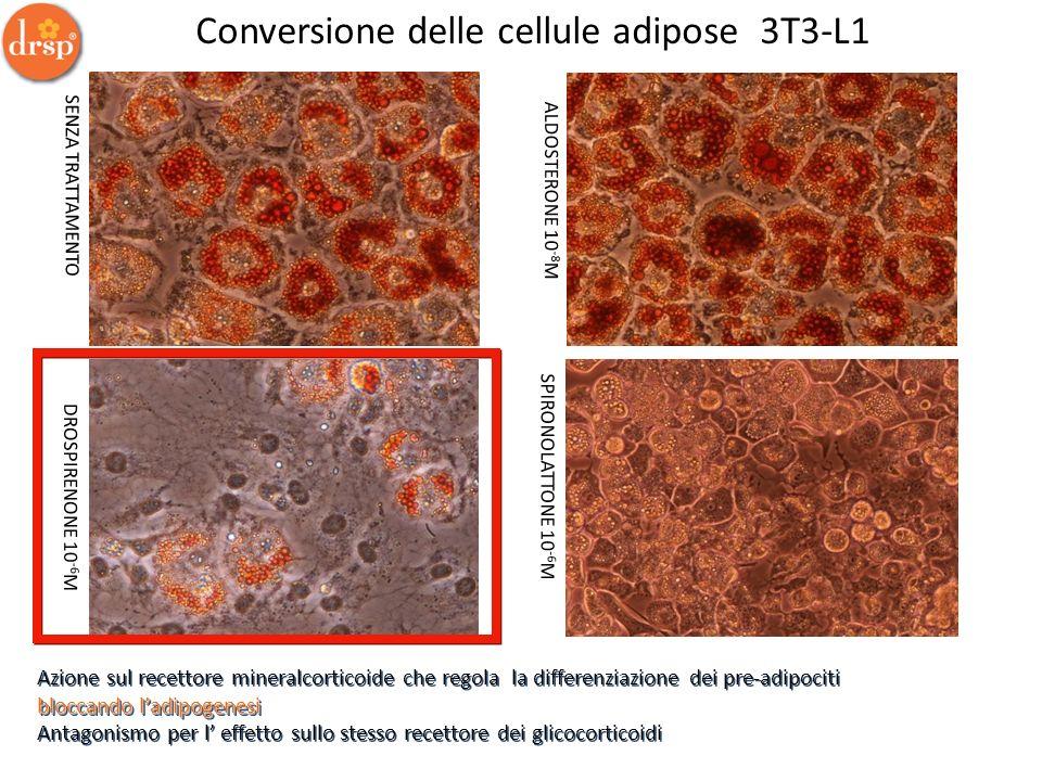 Conversione delle cellule adipose 3T3-L1 SENZA TRATTAMENTO ALDOSTERONE 10 -8 M DROSPIRENONE 10 -6 M SPIRONOLATTONE 10 -6 M bloccando ladipogenesi Azio