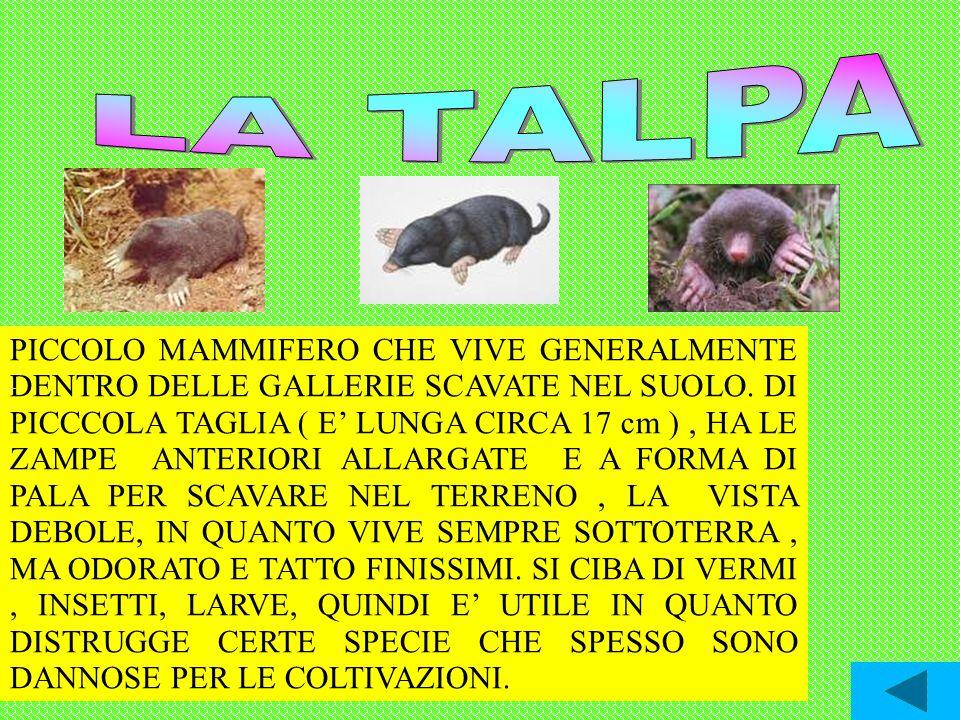 PICCOLO MAMMIFERO CHE VIVE GENERALMENTE DENTRO DELLE GALLERIE SCAVATE NEL SUOLO. DI PICCCOLA TAGLIA ( E LUNGA CIRCA 17 cm ), HA LE ZAMPE ANTERIORI ALL