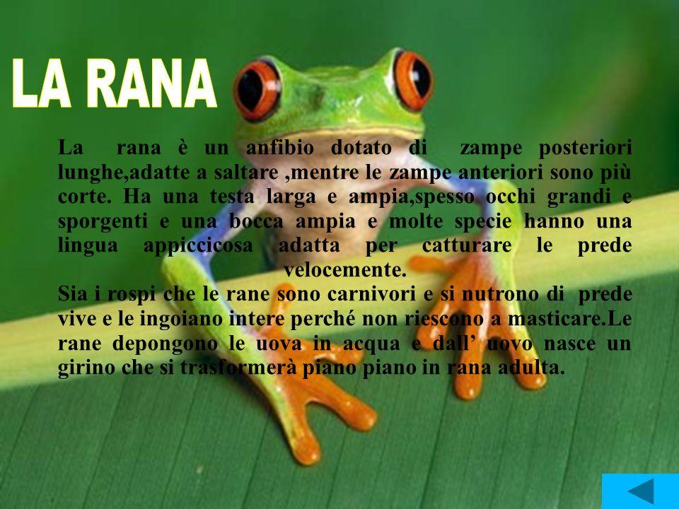 La rana è un anfibio dotato di zampe posteriori lunghe,adatte a saltare,mentre le zampe anteriori sono più corte. Ha una testa larga e ampia,spesso oc