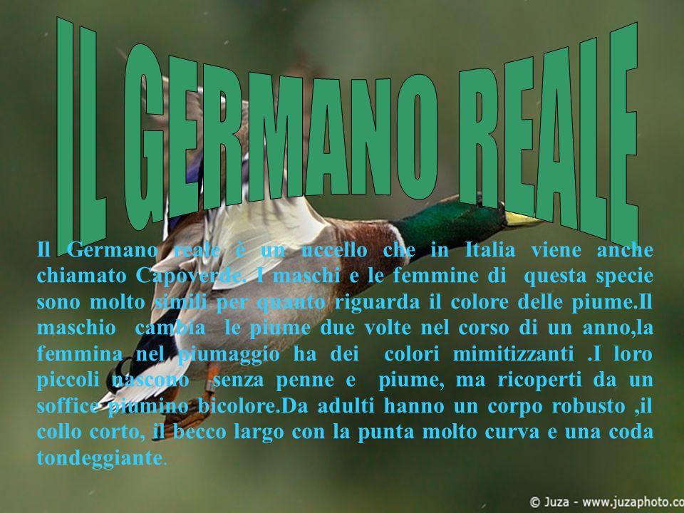 Il Germano reale è un uccello che in Italia viene anche chiamato Capoverde. I maschi e le femmine di questa specie sono molto simili per quanto riguar