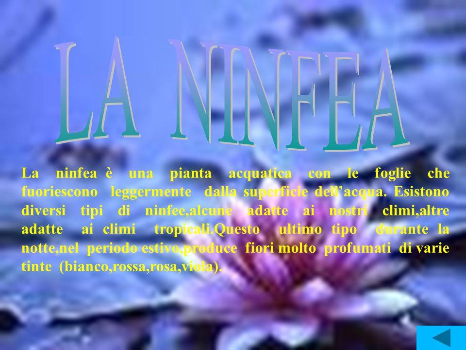 La ninfea è una pianta acquatica con le foglie che fuoriescono leggermente dalla superficie dellacqua. Esistono diversi tipi di ninfee,alcune adatte a