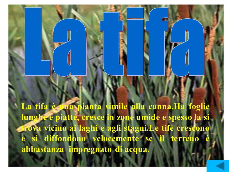 La tifa è una pianta simile alla canna.Ha foglie lunghe e piatte, cresce in zone umide e spesso la si trova vicino ai laghi e agli stagni.Le tife cres
