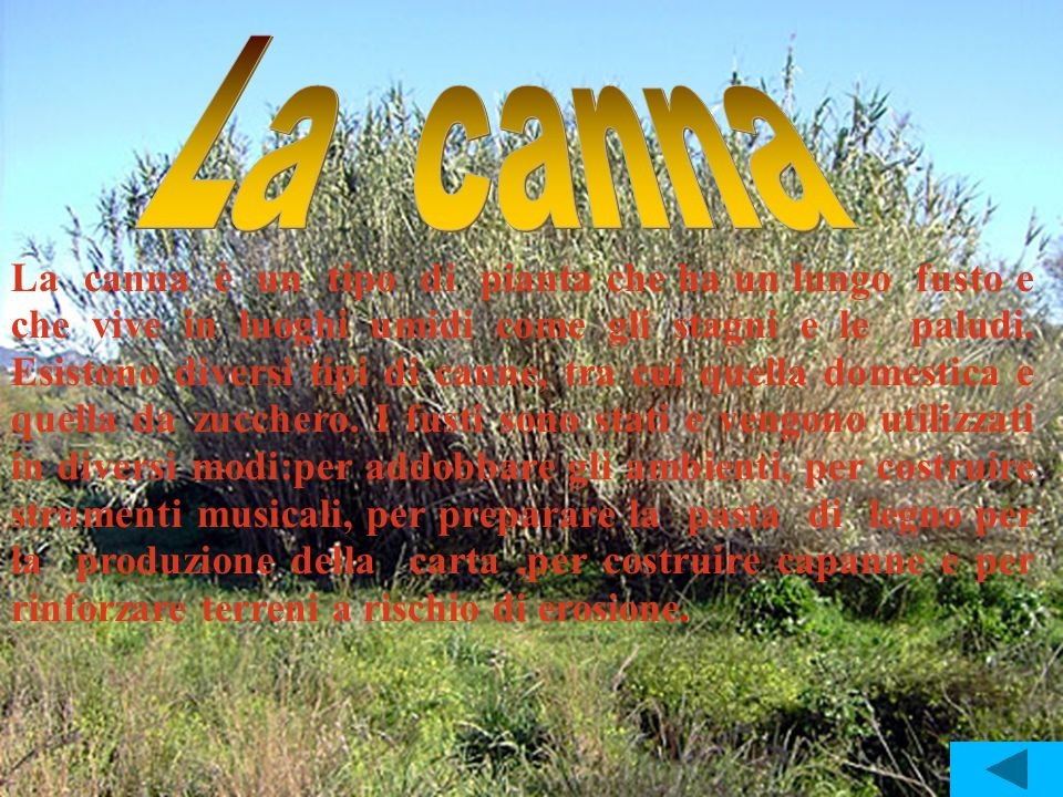 La canna è un tipo di pianta che ha un lungo fusto e che vive in luoghi umidi come gli stagni e le paludi. Esistono diversi tipi di canne, tra cui que