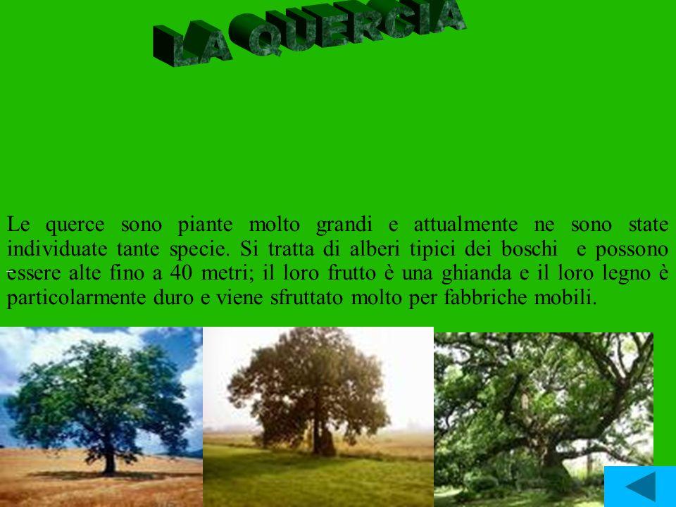 Le querce sono piante molto grandi e attualmente ne sono state individuate tante specie. Si tratta di alberi tipici dei boschi e possono essere alte f
