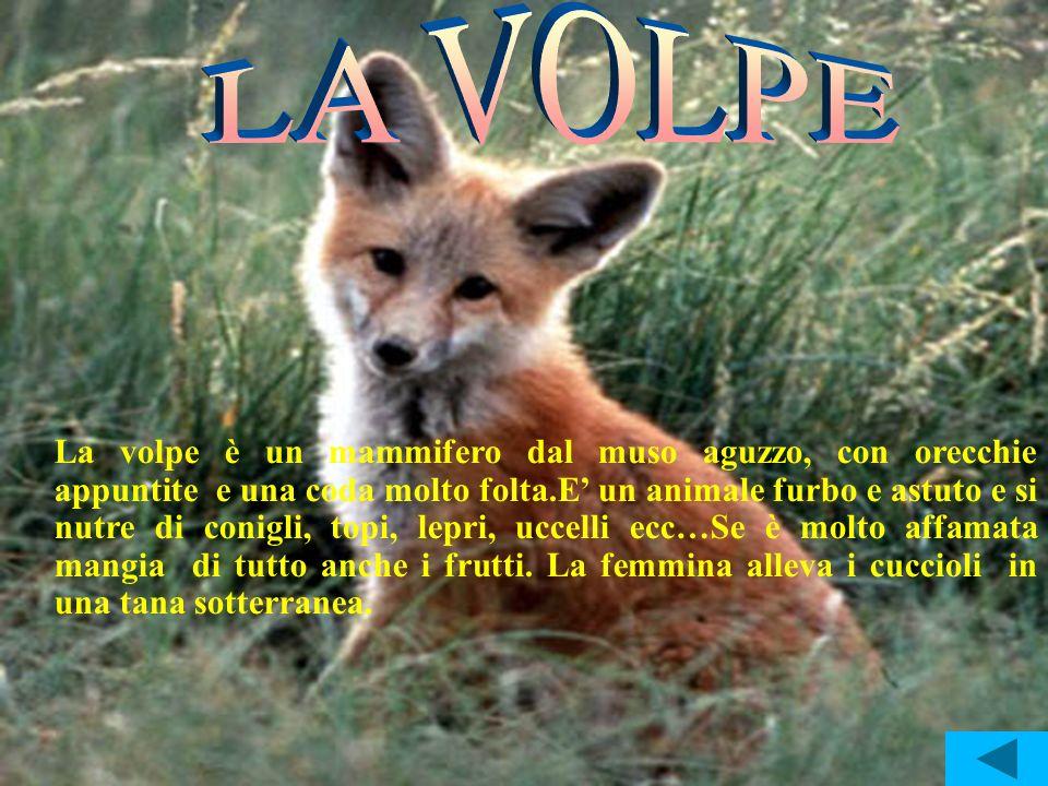 La volpe è un mammifero dal muso aguzzo, con orecchie appuntite e una coda molto folta.E un animale furbo e astuto e si nutre di conigli, topi, lepri,