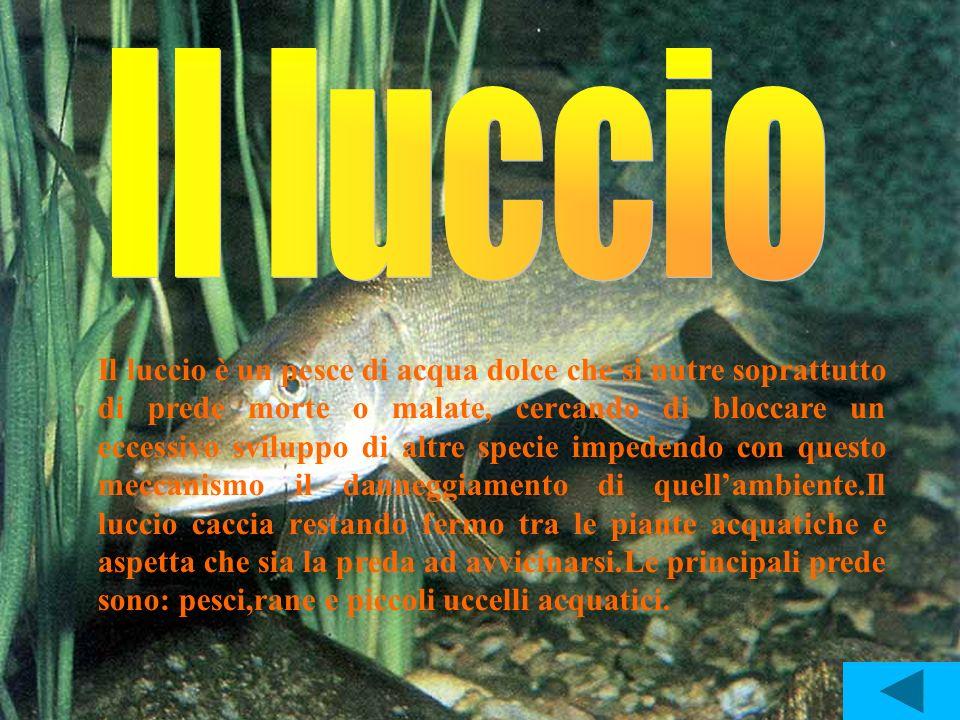 Il luccio è un pesce di acqua dolce che si nutre soprattutto di prede morte o malate, cercando di bloccare un eccessivo sviluppo di altre specie imped