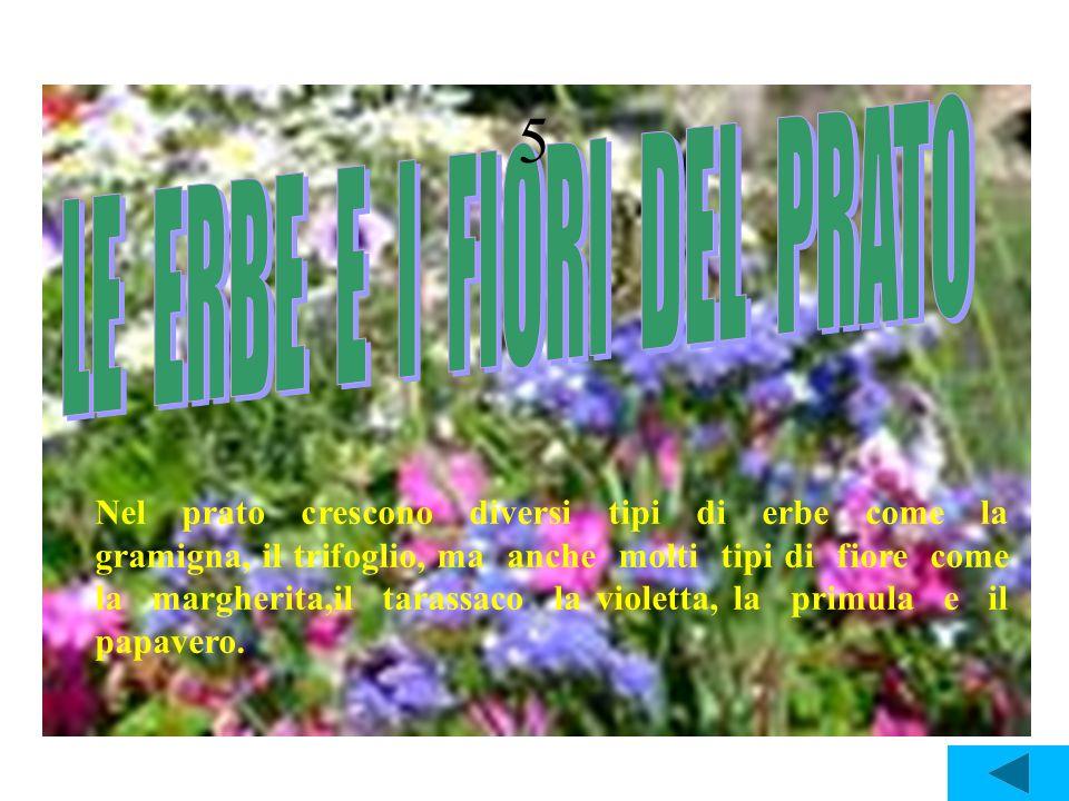 5 Nel prato crescono diversi tipi di erbe come la gramigna, il trifoglio, ma anche molti tipi di fiore come la margherita,il tarassaco la violetta, la