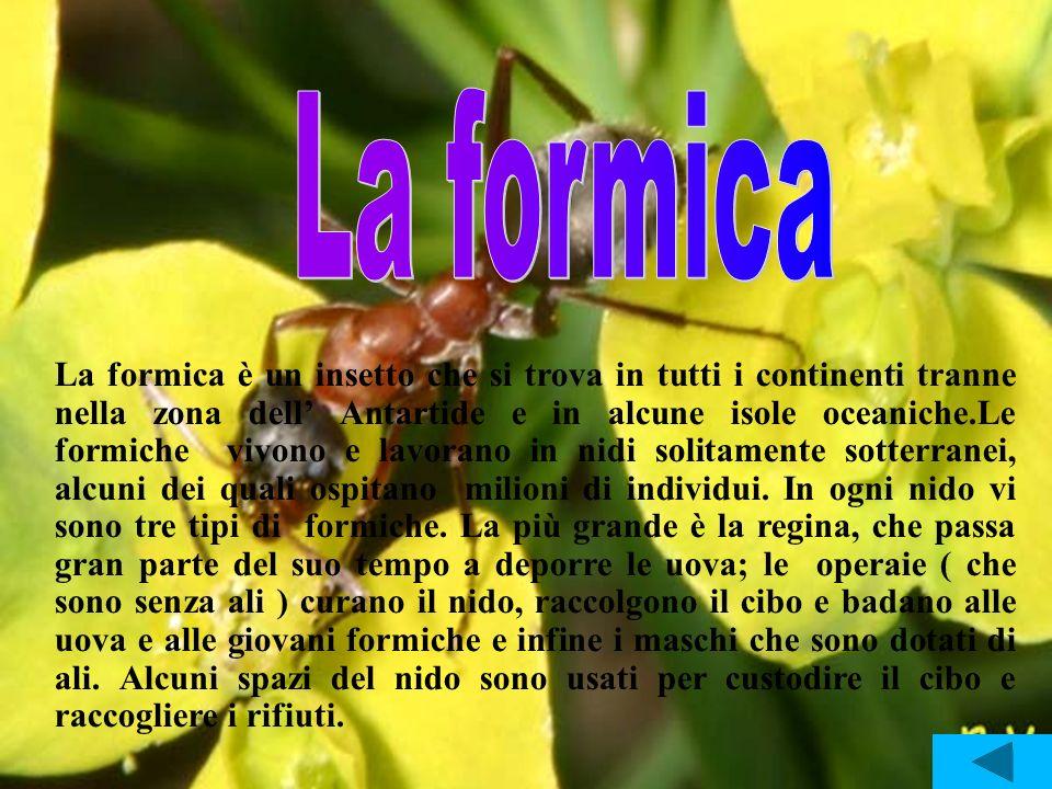 La formica è un insetto che si trova in tutti i continenti tranne nella zona dell Antartide e in alcune isole oceaniche.Le formiche vivono e lavorano