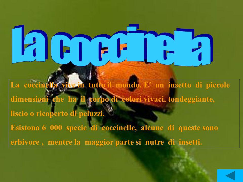 La coccinella vive in tutto il mondo. E un insetto di piccole dimensioni che ha il corpo di colori vivaci, tondeggiante, liscio o ricoperto di peluzzi