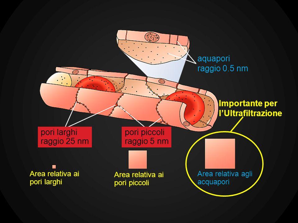aquapori raggio 0.5 nm pori larghi raggio 25 nm pori piccoli raggio 5 nm Area relativa ai pori larghi Area relativa ai pori piccoli Importante per lUl