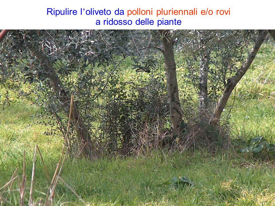 Ripulire l oliveto da polloni pluriennali e/o rovi a ridosso delle piante