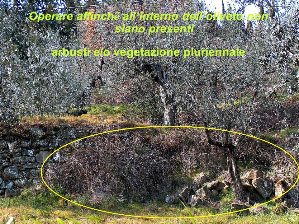 Operare affinch é all interno dell oliveto non siano presenti arbusti e/o vegetazione pluriennale