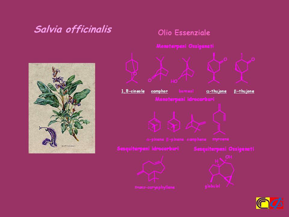 Salvia officinalis Olio Essenziale