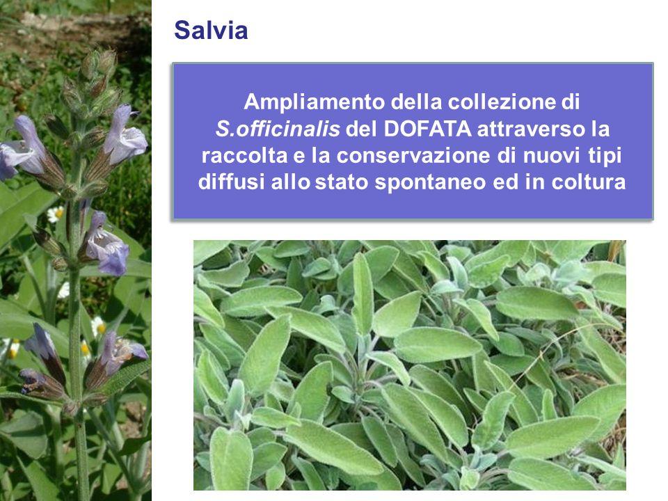 Salvia Ampliamento della collezione di S.officinalis del DOFATA attraverso la raccolta e la conservazione di nuovi tipi diffusi allo stato spontaneo e