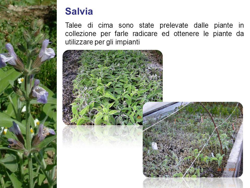 Salvia Talee di cima sono state prelevate dalle piante in collezione per farle radicare ed ottenere le piante da utilizzare per gli impianti