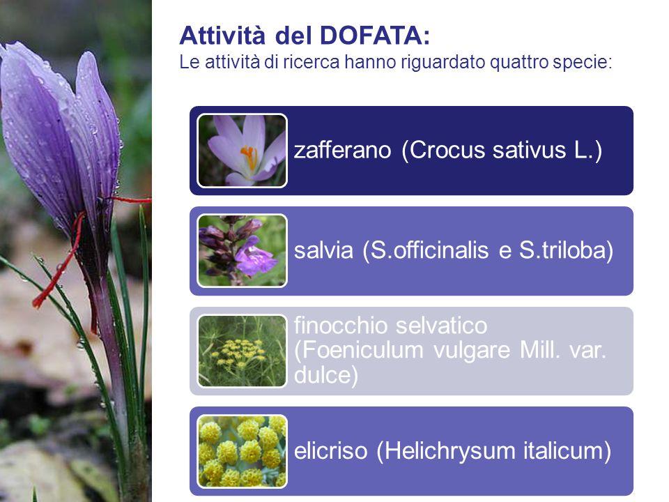 Attività del DOFATA: Le attività di ricerca hanno riguardato quattro specie: zafferano (Crocus sativus L.) salvia (S.officinalis e S.triloba) finocchi