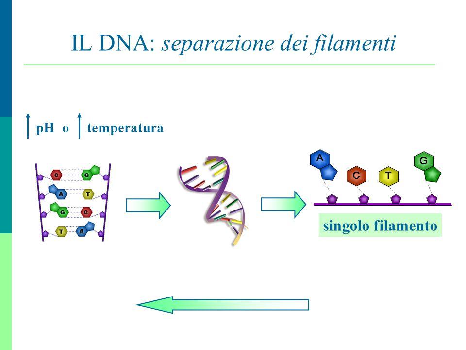 7 IL DNA: separazione dei filamenti pH o temperatura A G C T singolo filamento