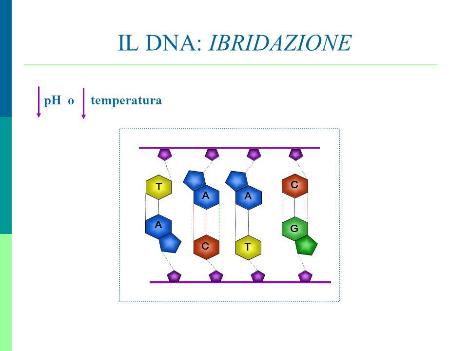 9 IL DNA: IBRIDAZIONE A G C T A C T A pH o temperatura